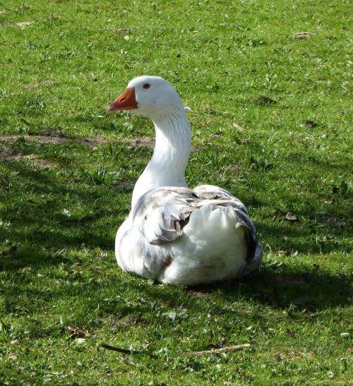 goose free range bio
