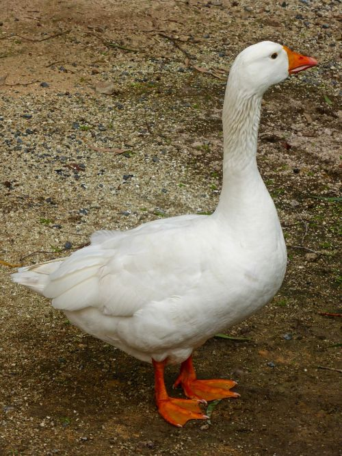 goose white domestic