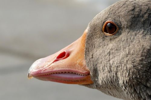goose geese head animal
