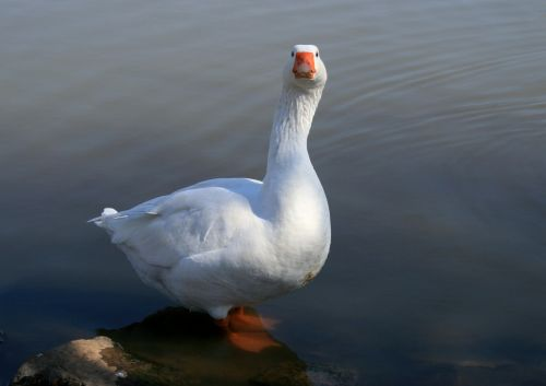goose white goose water