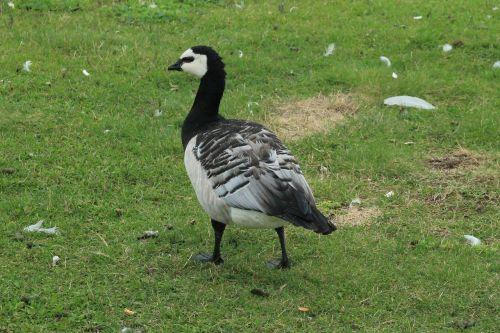 goose white-faced