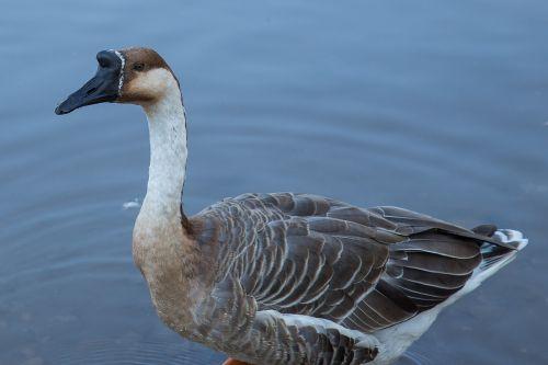 goose höcker goose water bird