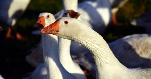 goose geese bird