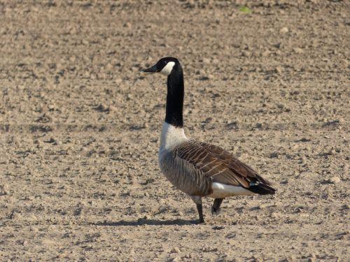 goose canada goose bird