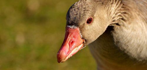 goose water bird animal