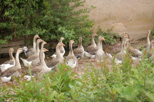 goose group bird