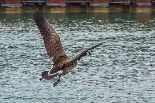 goose wildlife photography canada goose