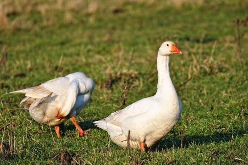 goose bird water bird