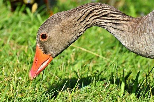 goose  wildlife  bird