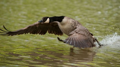 goose wing water