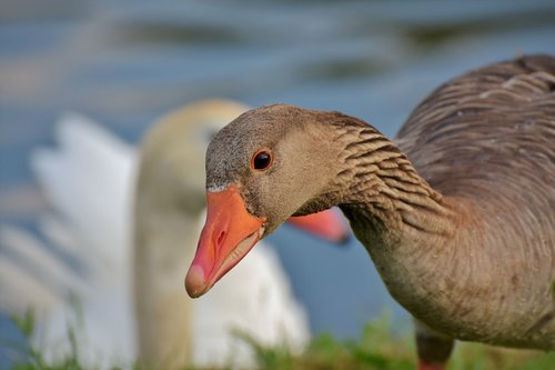 goose  poultry  bird