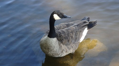 goose  duck  geese