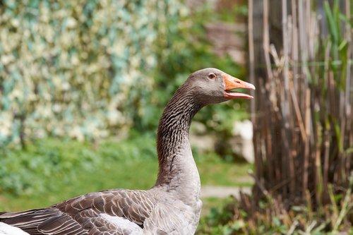 goose  bill  bird
