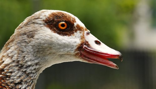 goose  nilgans  animal