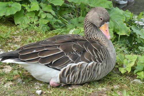 goose  wildlife park cumberland  austria