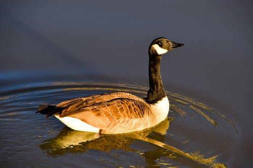goose  goose in pond  pond