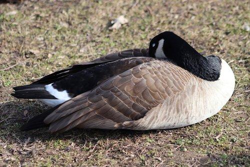 goose  water bird  wild goose