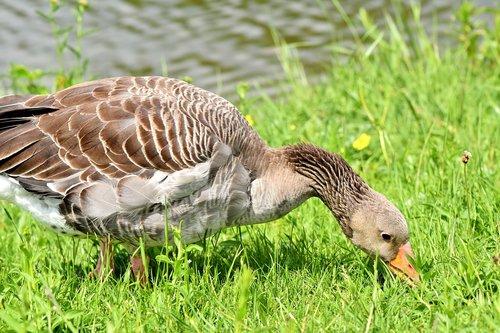 goose  greylag goose  wild goose