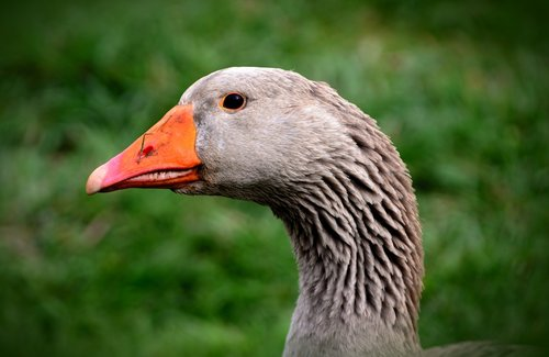 goose  domestic goose  animal