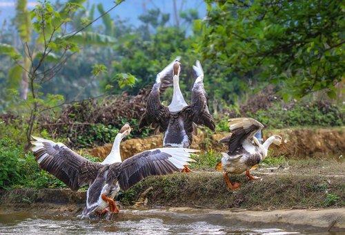 goose  tree  water