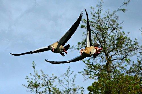 goose  waterbird  animal