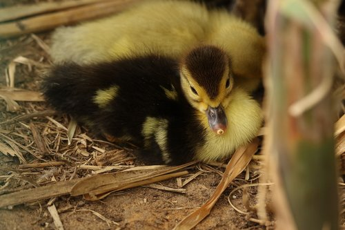 goose  gosling  young