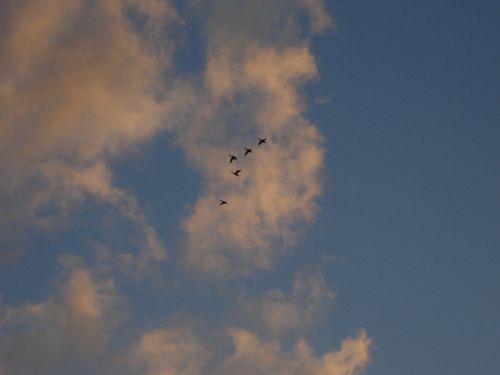 goose geese migratory birds