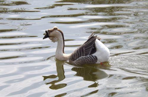 goose water bird