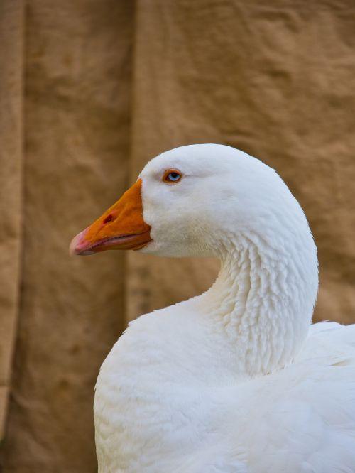 goose duck animal