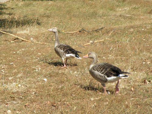 goose geese feast
