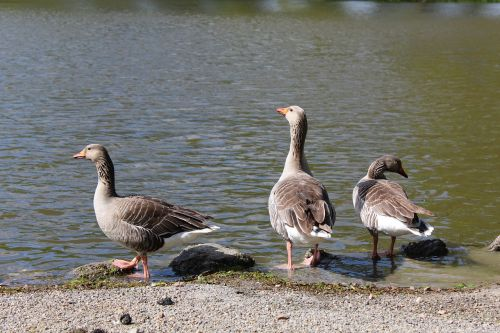 goose water parc