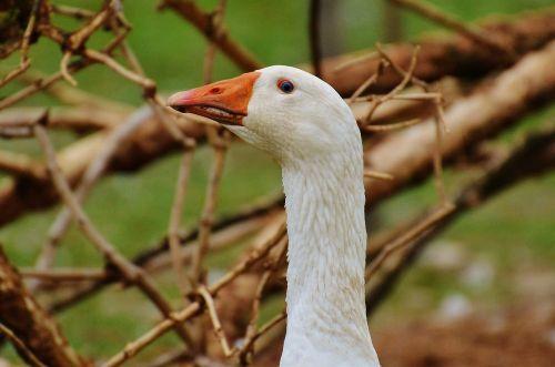 goose white cute