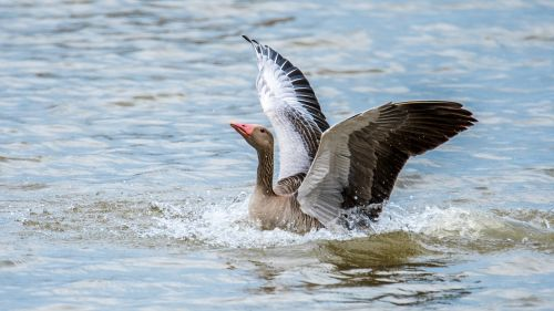 goose big bird wings