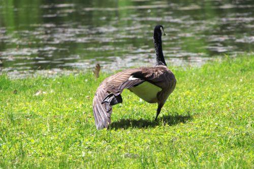 Goose Doing Aerobics