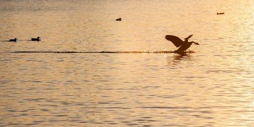 goose landing  goose  sunset