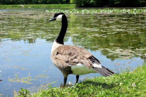 Goose On Edge Of Lake