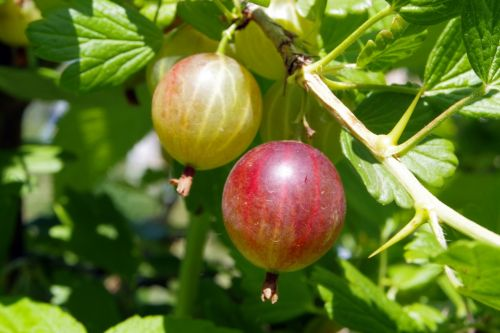 gooseberry fruit juicy