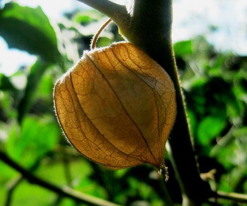 gooseberry cape brown