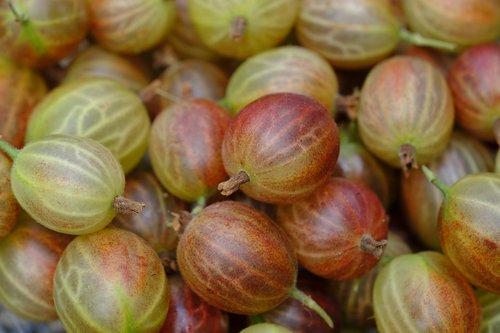 gooseberry  berries  soft fruit