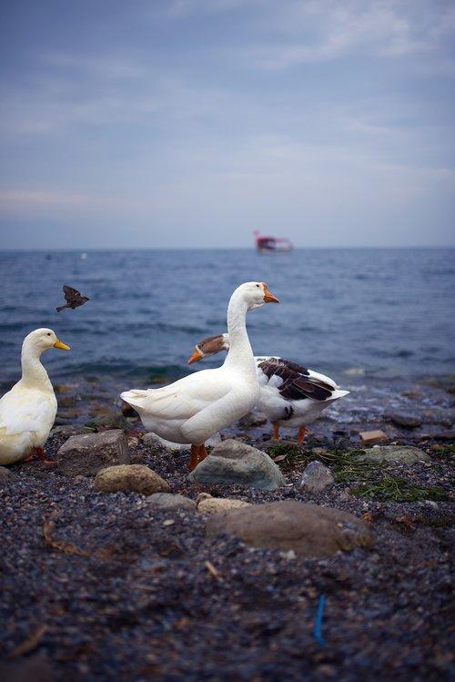 gooze  sea  turkey
