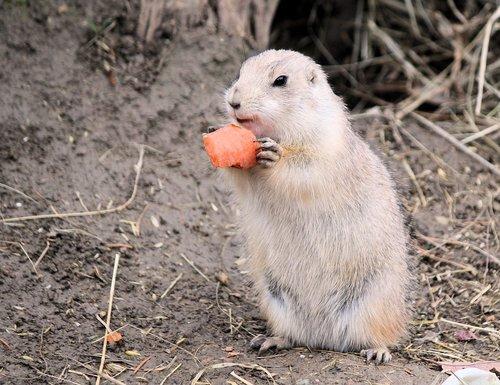 gopher  rodent  mammal