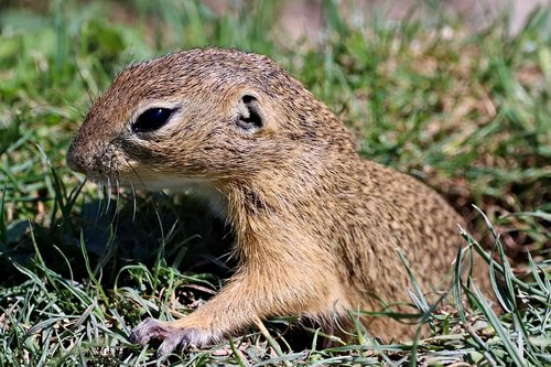 gopher  rodent  cub