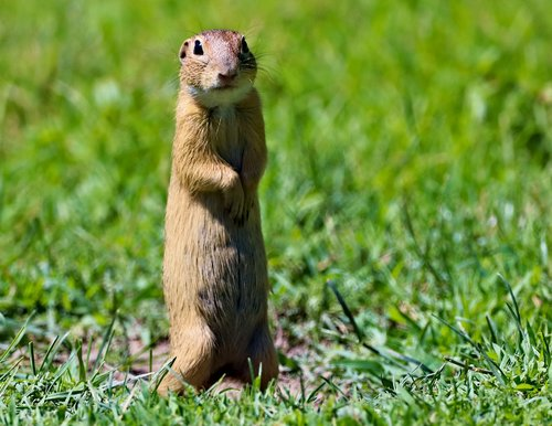 gopher  the european  standing