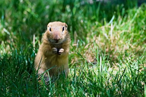 gopher  rodent  animal