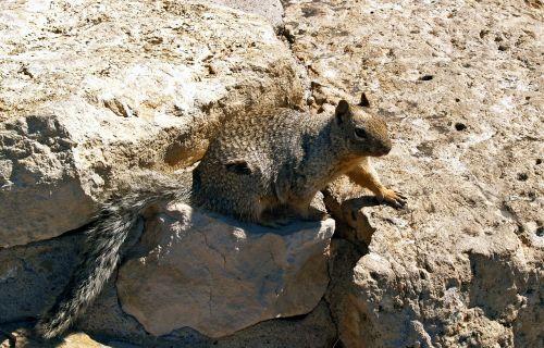 gopher squirrel groundhog