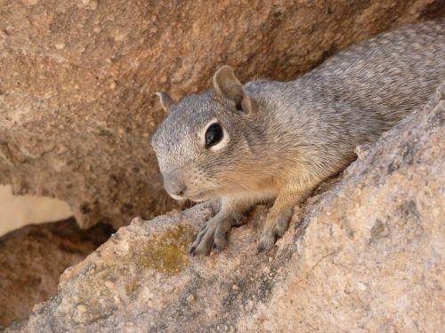 gopher ground squirrel animal