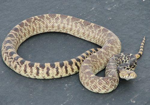 gopher snake non venomous sunning
