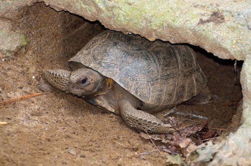 gopher turtle wildlife reptile