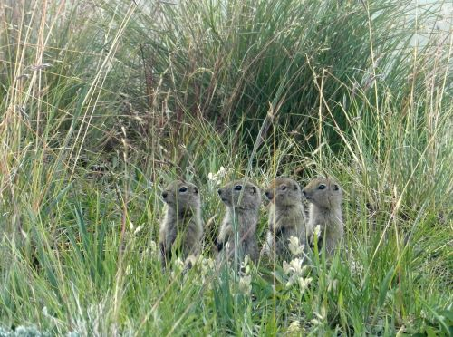 gophers evraiki rodents