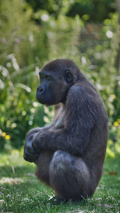 gorilla pregnancy zen